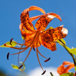 Tiger Lily and a blue sky — Stock Photo #18364851