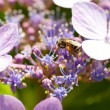 Bee and hydrangea — Stockfoto