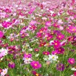 Stock Photo: Cosmos garden
