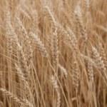 Wheat field — Stock Photo #18367671