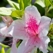 Stock Photo: White and pink azalea