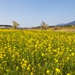 Rape blossoms — Stock Photo
