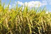 Rice and the blue sky — Stock Photo