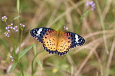 Nymphalidae — Stock Photo