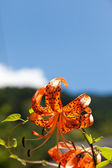 Tiger Lily and a blue sky — Stock Photo