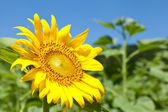 Sunflower — Foto de Stock