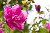 Furong flower — Stock Photo