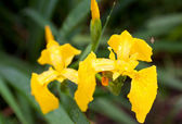 Gele iris — Stockfoto