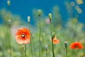 Corn poppy — Stock Photo