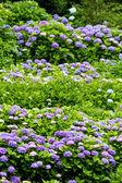 Hydrangea — Stock fotografie