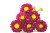 Flower of astor — Stock Photo