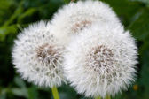Dandelion fluff — Stock Photo