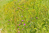 Grasland in de vroege zomer — Stockfoto