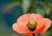 Corn poppy — Foto de Stock
