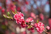 Plum flowers — Foto de Stock