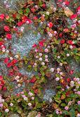 Små runda rosa blomma — Stockfoto