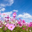 Stock Photo: Cosmos flower and sky