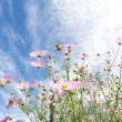 Cosmos flower and the sky - Foto de Stock