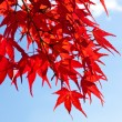 Maple leaves - Foto de Stock