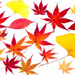 Stock Photo: Maple and ginkgo leaves