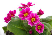 Fiore di primula — Foto Stock
