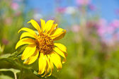 Sunflower and cosmos — Stock Photo