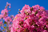 Crape myrtle flower — Stock Photo