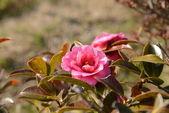 Flower of sasanqua — Stock Photo