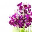 Purple-red Primula — Stock Photo