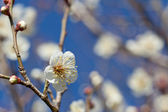 White plum blossoms — Stock Photo