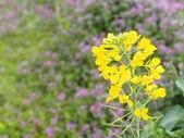 Flowers of rape — Stock Photo