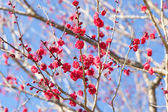 Red plum blossoms — Stock Photo