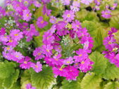 Flowers of Primula — Stock Photo