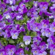 Stock Photo: Purple viola