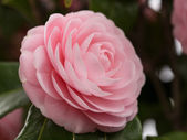 Double-flowered camellia — Stock Photo