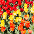 Red and yellow and orange tulips — Stock Photo