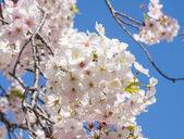 Cherry blossoms and blue sky — Stock Photo