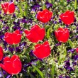 Stock Photo: Red tulip flowers and viola