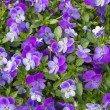Stock Photo: Flower of viola