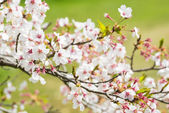 Cherry blossoms in the background was grassland — Stock Photo