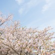 Stock Photo: Cherry blossoms and sky
