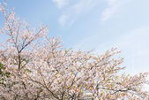 Cherry blossoms and sky — Stock fotografie
