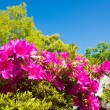 Stock Photo: Blue sky and azalea
