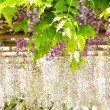 Wisteria — Stock Photo #25053975