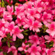 Flower of azalea pink — Stock Photo