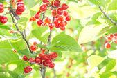 Cherrys ripe on the tree — Stock Photo