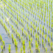 Paddy field of rice planting later — Stock Photo #28208371