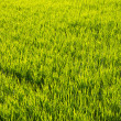 Paddy field of rice planting later — Stock Photo