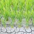 Paddy cracked for water shortage — Stock Photo