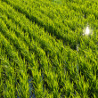 Paddy field of rice planting later — Stock Photo #29293231